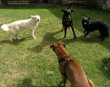 Čtyři psi