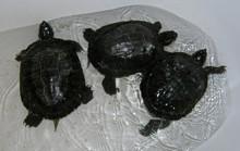 Tři želvy